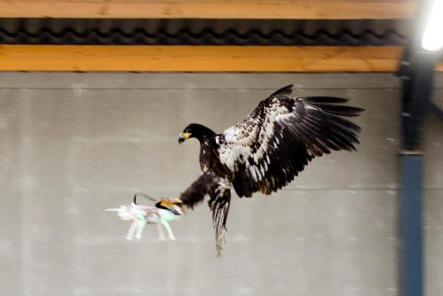 An eagle is seen gliding straight toward a drone before clutching it and dragging it to the ground in Rotterdam, Netherlands January 29, 2016, in this handout photo released by the Netherlands police to Reuters on February 1, 2016. REUTERS/Nederlands Politie/Handout via Reuters